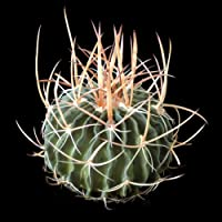 Echinofossulocactus multicostatus seeds