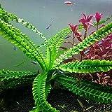 Rosepoem Semillas de Plantas acuáticas, 50 Piezas/Bolsa Tanque de Peces Agua Hierba Semillas