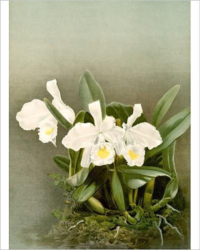 photographic-print-of-cattleya-triana-aeaaaaa-alba-sander-f-frederick-1847-1920