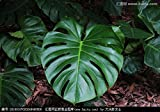 2017 New Garden Alocasia macrorrhiza semi di fiori Bonsai Giant Elephant Ear Taro Dishlia Fiore piante da seme 50 pc/pacchetto Brown