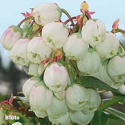 Gärtner Pötschke Kultur-Heidelbeere Gärtner Pötschkes Blaues Wunder von Gärtner Pötschke auf Du und dein Garten