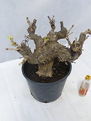 """Vitis vinifera """"Monastrell"""" / kräftige Weinrebe - Stammumfang ca. 25 cm, echte Traube! von PalmenLager.de - Du und dein Garten"""