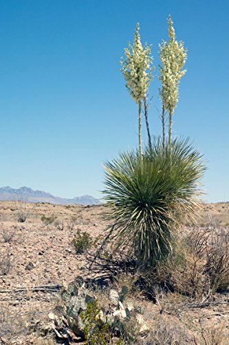 Winterharte Faxon Yucca - Yucca faxoniana - verschiedene Größen (140-160cm - Stamm 10+cm - Topf 45 Ltr.)