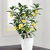 Pinkdose 20 PC/Bag Bonsai Zitronenbaum, Mini-Obst-Bonsai-Baum schnell wachsen NO-GMO Gesundheit für Körper Blumentopf Pflanzer