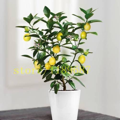20 Bonsai Zitronenbaumsamen, Mini-Obst-Bonsai-Baum schnell NO-GMO Gesundheit für Körper Blumentopf Pflanzer wachsen