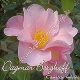 Kamelie 'Dagmar Berghoff' - Camellia hybride , Grupo de precio:4