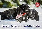 Labrador Retriever - Freunde für´s Leben (Wandkalender 2020 DIN A4 quer): Labrador Retriever - die seit Jahren wohl beliebteste Hunderasse, auf 13 ... 14 Seiten ) (CALVENDO Tiere)