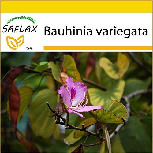 SAFLAX - Anzucht Set - Orchideen-Baum - 8 Samen - Bauhinia variegata