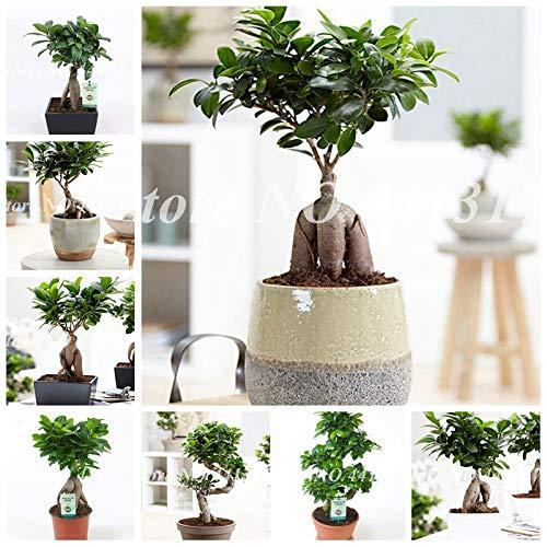 pinkdose chinese rare ficus microcarpa albero 50 pz evergreen bonsai in vaso ginseng banyan giardino di casa albero piantagione esterna facile da coltivare: 10 pz