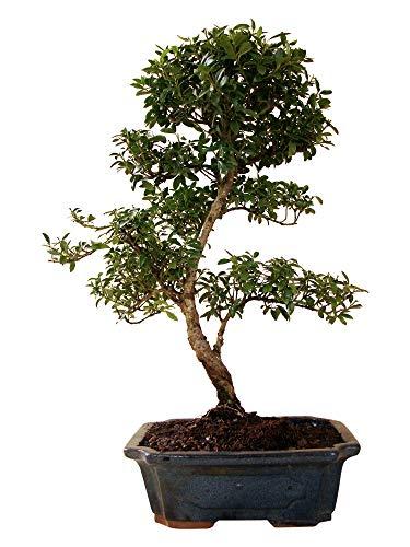 Bonsai Ilex (Stechpalme), ca. 12 Jahre alt, ca. 41 cm hoch