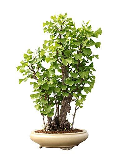 Ginkgo Biloba/Goethebaum / Trollbaum/ca. 5 Samen/Bonsai geeignet/winterhart