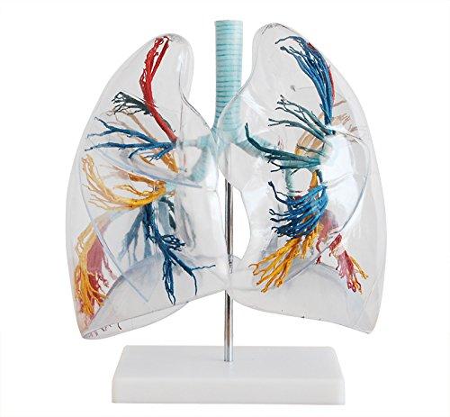 Trasparente Lung segmento Lung segmento modello polmoni Anatomia Lung insegnamento modello la distribuzione dell' albero
