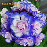 ChinaMarket 5 PCS rares Graines Géranium 'Bleu nuit' Appleblossom Rosebud Pelargonium