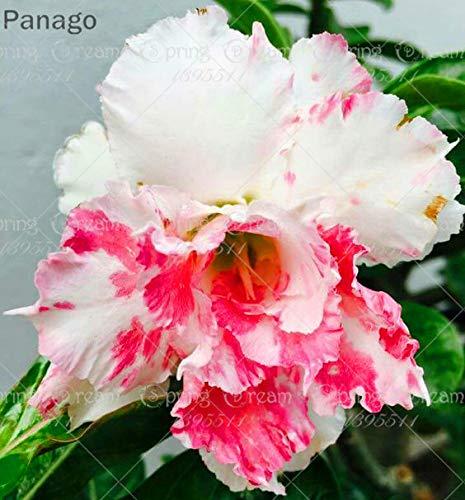 Pinkdose 2pcs Fiore rosa del deserto vero Adenium obesum bonsai fiore pianta piante grasse perenni piante in vaso al coperto per il giardino di casa: 5
