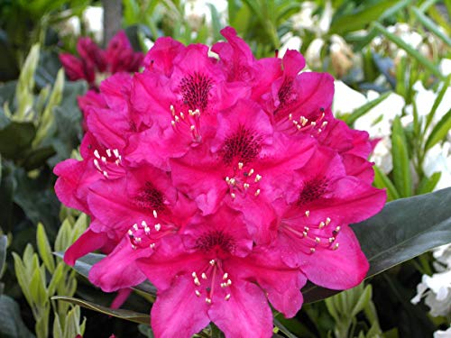 Rhododendron Hybride 'Nova Zembla' - Im 5 lt. Topf, Höhe ca. 30-40cm