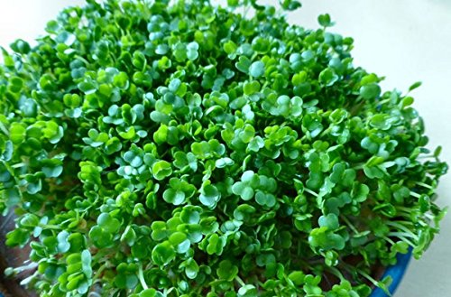 Shoopy Star 200 - Seeds: Bio Chia Sprießen Seeds-Wachsen Sie Ihren eigenen Sprouts * Ausgezeichnete Quelle für Protein! -