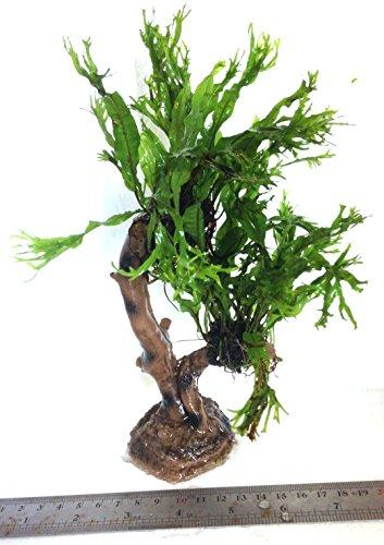 Dennerle Java Fern Microsorum Pteropus (Windelov) Jungle Tree Live Plant 3