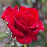 Rosier Grand Huit - Rose Rouge - Grandes Fleurs - Rosier Grimpant