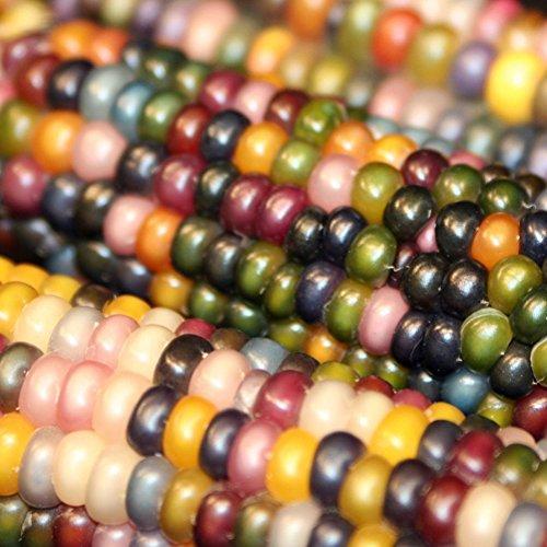 Bornbayb 100 Pcs / Pack graines de maïs sucré graines non-OGM graines de maïs de fruits indiens, 4 variétés