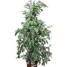 Planta de interior - Planta para la casa o la oficina - Ficus benjamina Variegata -