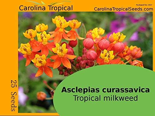PlenTree Asclepias curassavica - Baumwolle Tropical - Konde 25 Samen