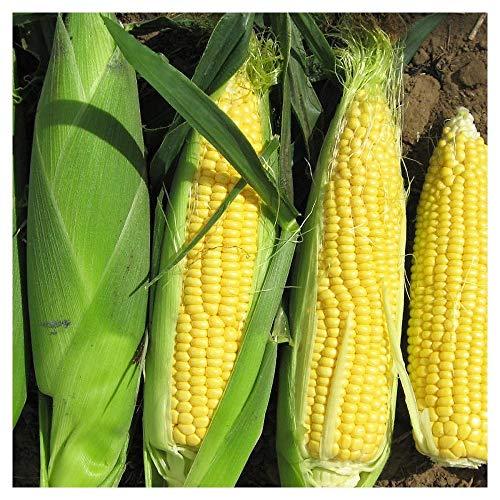 Premier Seeds Direct SWC05 Rising Sun F1 semi di mais (confezione da 50)