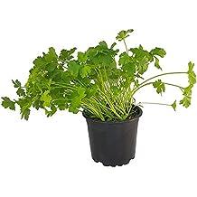 Glatte Petersilie Petroselium crispum var.neapolit Kräuter Pflanze 1stk