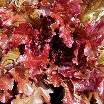 Farmerly Red Salad Bowl Lettuce Seeds - 1,000 Seeds Red Salad Bowl