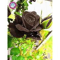 Verdaderas semillas de Rose sanguíneo poco común increíblemente hermoso 200 piezas