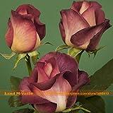 GEOPONICS SEMI: Scuro Notte Rosa sementi biologiche, 100 semi/pacchetto, R Sorprendentemente Bella Marrone Rosa dei bonsai del fiore