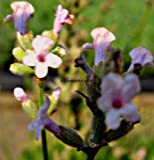 Staudenkulturen Wauschkuhn Lavandula angustifolia