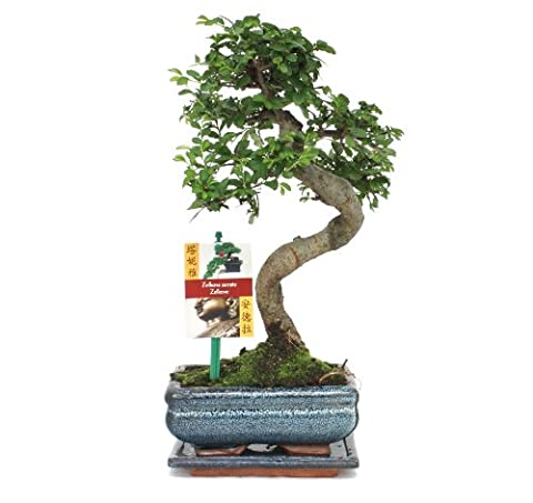 Bonsai chinesische Ulme - Ulmus parviflora - ca. 6 Jahre