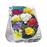 Baltus Fresia Doppia Assortita Pezzi 20 Bulbi da Fiore Semina in Primavera, Multicolore, Unica