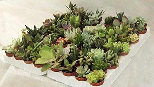 Piante grasse vere rare 20 piante piccole 5 5 vaso for Piante grasse rare