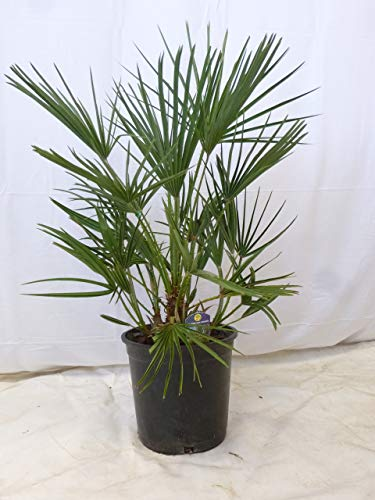 [Palmenlager] - Chamaerops humilis - Zwergpalme - 80 cm // -12°C Frost - Indoor u. Outdoorpalme