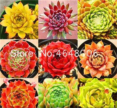 Sempervivum Gemischte Blumen Groß Packung 2500 Samen