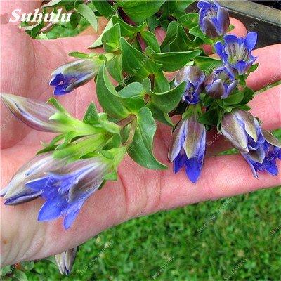100 Pcs Largeleaf bleu gentiane Graines rares Gentianopsis Graines de fleurs vivaces Bonsai plantes pour jardin Décor Livraison gratuite 24