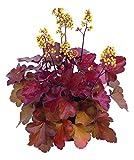 Heuchera - Purpurglöckchen, Little Cuties - Blondie - in Gärtnerqualität von Blumen Eber