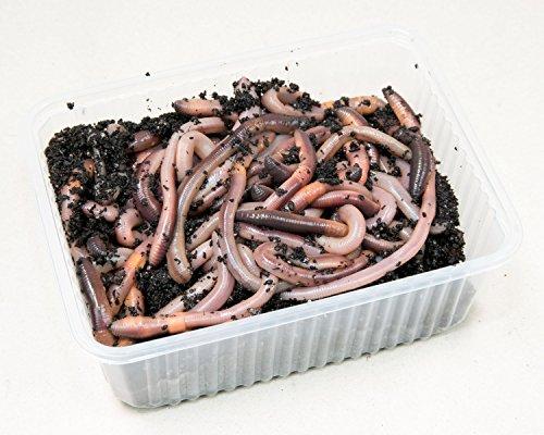 Preisvergleich Produktbild SUPERWURM Kanadische Tauwürmer,  Angelköder,  Kunststoffschale 50 Stück