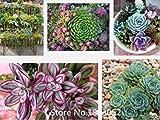 200pcs bureau mini-plante en pot graines succulentes vertes de Crassula Linn graines...