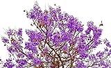 Palisanderbaum/Bienenfreundlich /...