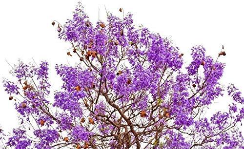Palisanderbaum/Bienenfreundlich/Palisanderholzbaum/ca.50 Samen/Bonsai geeignet /