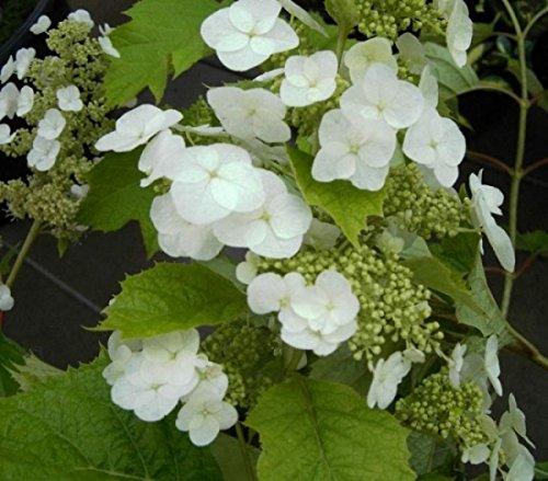 Eichenblatthortensie Snow Queen - Hydrangea quercifolia Snow Queen