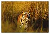Tiger In Forest Wall Poster (Surface Covering Area - 36 X 24 Inch)