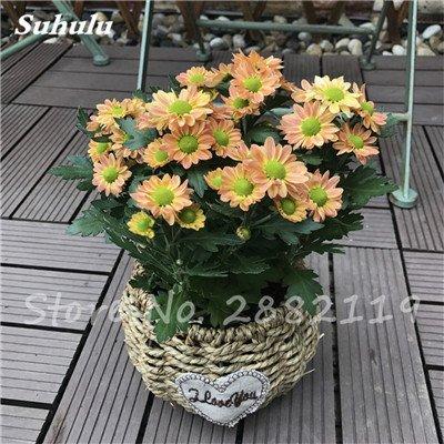 120 pcs graines graines de fleurs Daisy strawberry marguerite, fleurs de saison graines chrysanthème, Bonasi beau balcon fleuri coloré 7