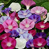 #4: Ipomoea Mixed Flower Desi Seeds Summer Variety Special for Home and Balcony Gardening (Buy 1 Get 1 Free) By Kraft Seeds