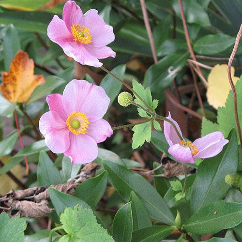 Anemone Hupehensis 'September Charm' Seeds