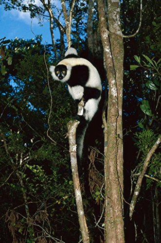Konrad Wothe – Black and White Ruffed Lemur climbing tree Madagascar Kunstdruck (30,48 x 45,72 cm) (Ruffed Lemur)