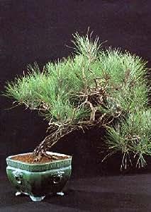 tropica pin parasol pinus pinea 6 graines bonsai jardin. Black Bedroom Furniture Sets. Home Design Ideas