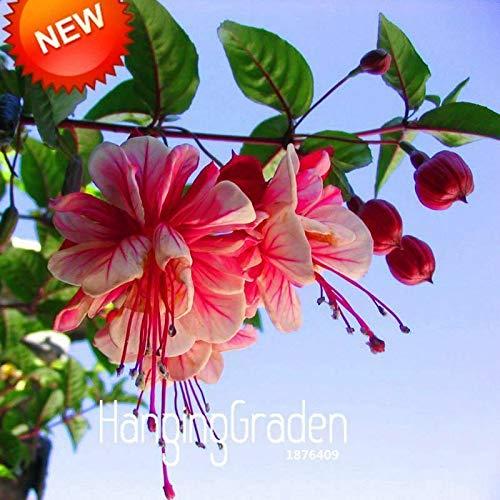 Shoopy Star MIX: 50pcs / sac papillon bonsaïs Iris orchidée plante graines de fleurs d'iris plante vivace f
